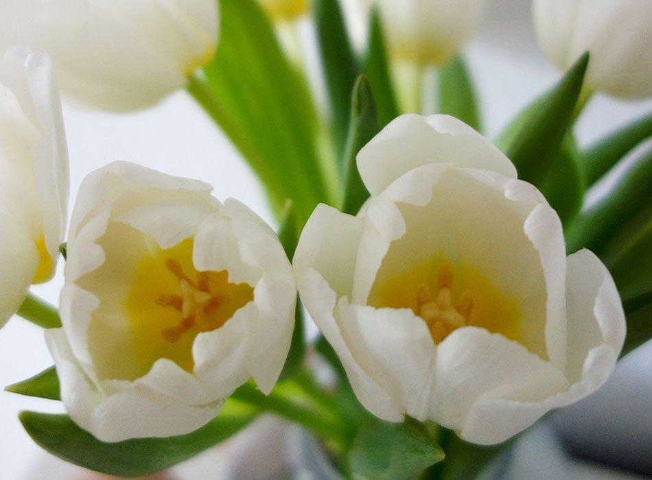 tulpen, deko, frühling, blog, weiß